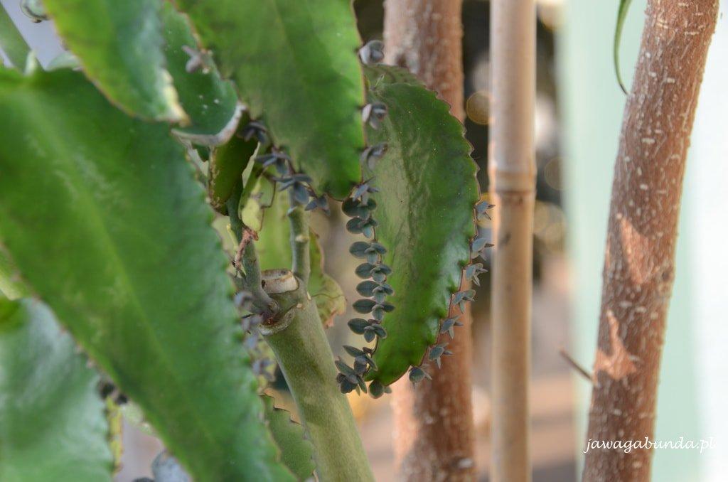 Małe roślinki żyworódki na liściu