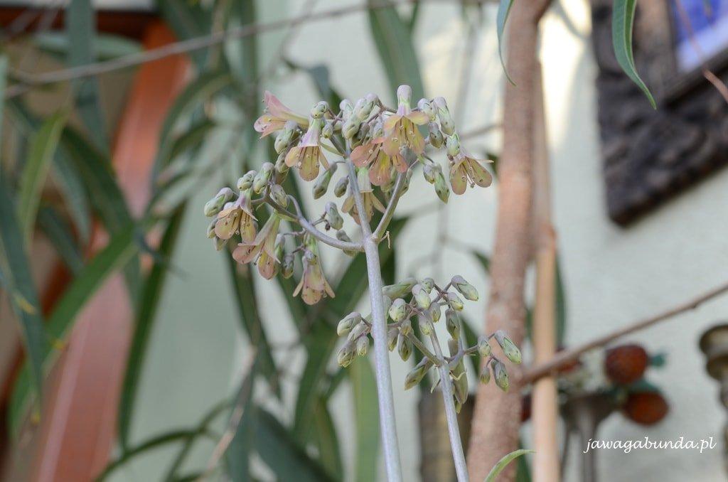 kwiat żyworódki