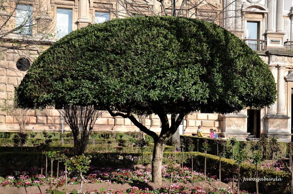 drzewo o półokrągłej koronie