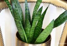 roślina liście w kształcie szabli w złotej donicy