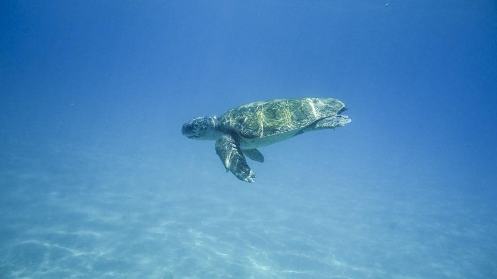 żółw morski w wodzie