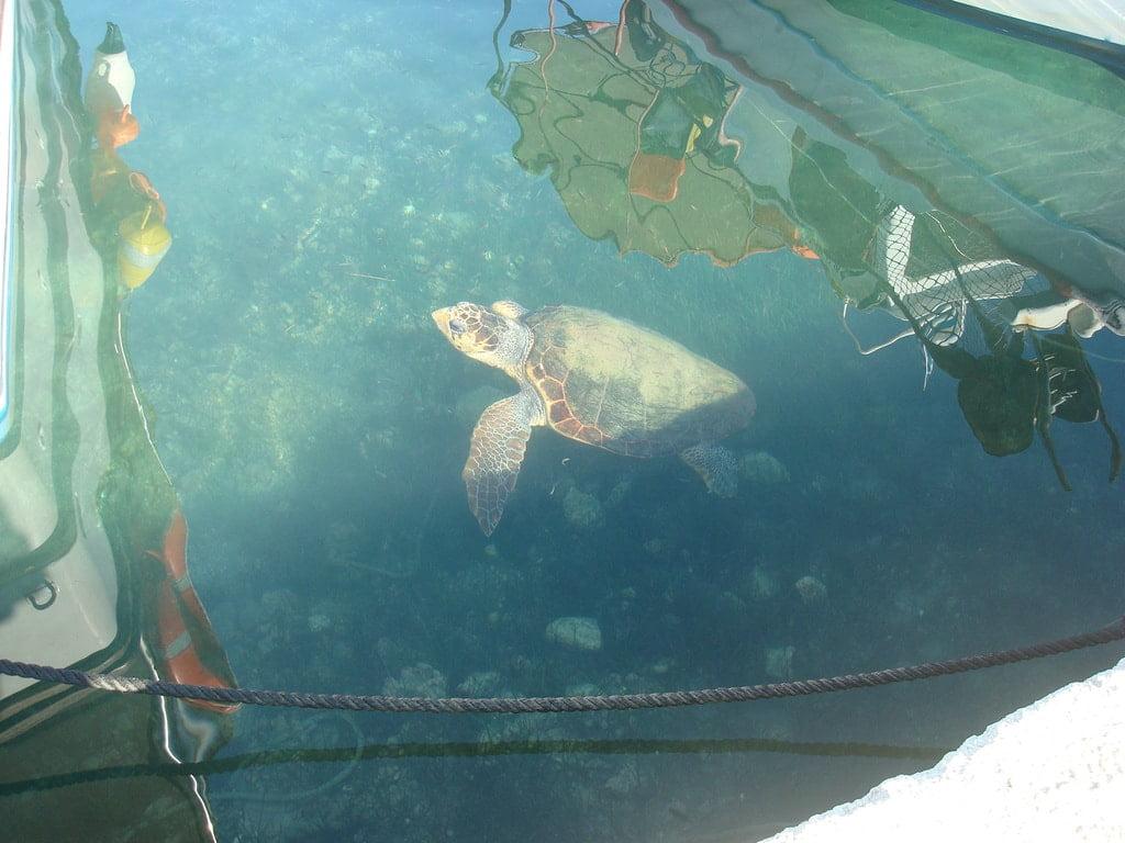 Żółw pomiędzy łódkami