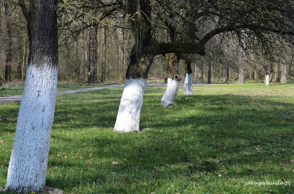 pnie drzew pomalowane na biało