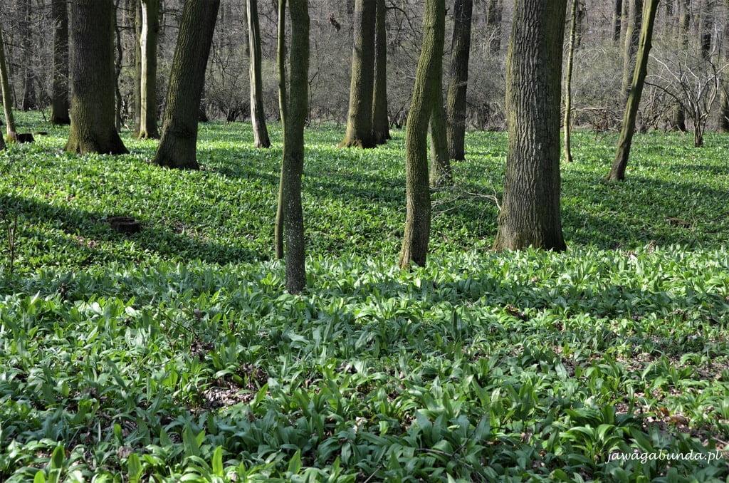 zielone poszycie lasu