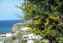 kwitnące na żółto krzaki nad brzegiem morza