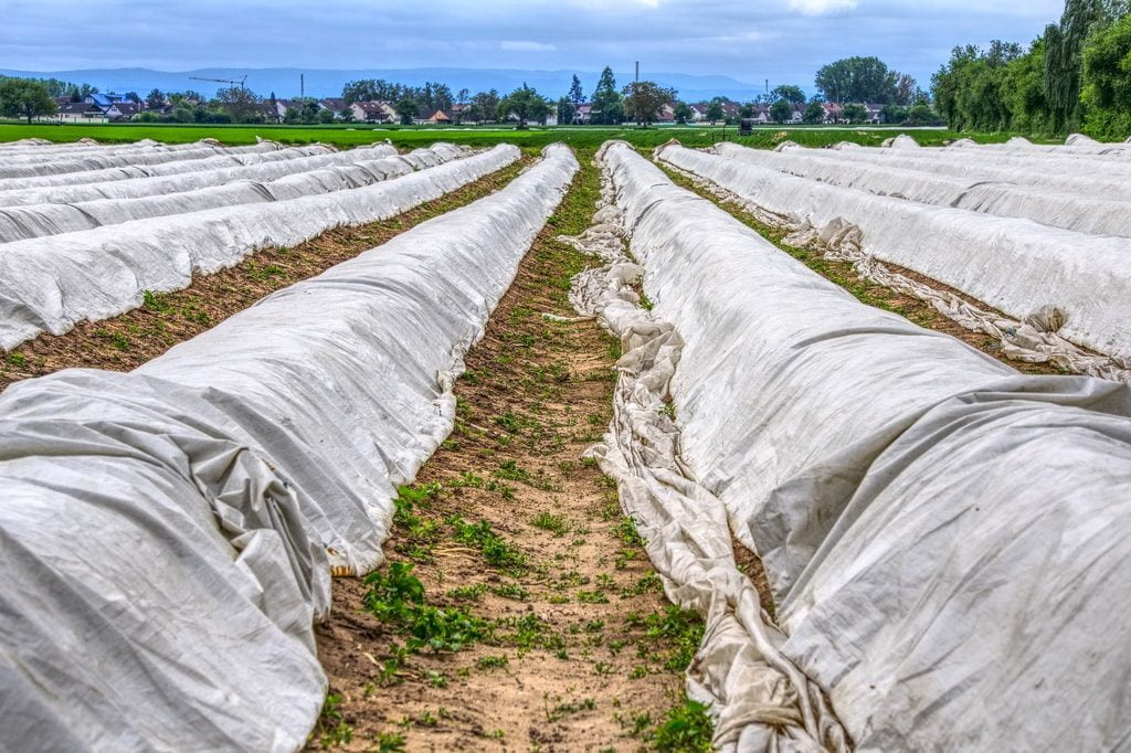 Szparagi są tradycyjne uprawie na polu i dla bezpieczeństwa przykryte są płachtą.