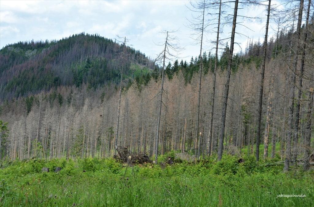 las iglasty częściowo uschnięty