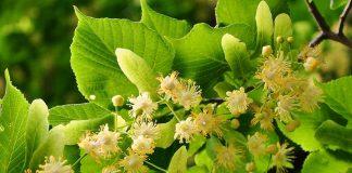 Lipa - kwitnące drzewo Lipa