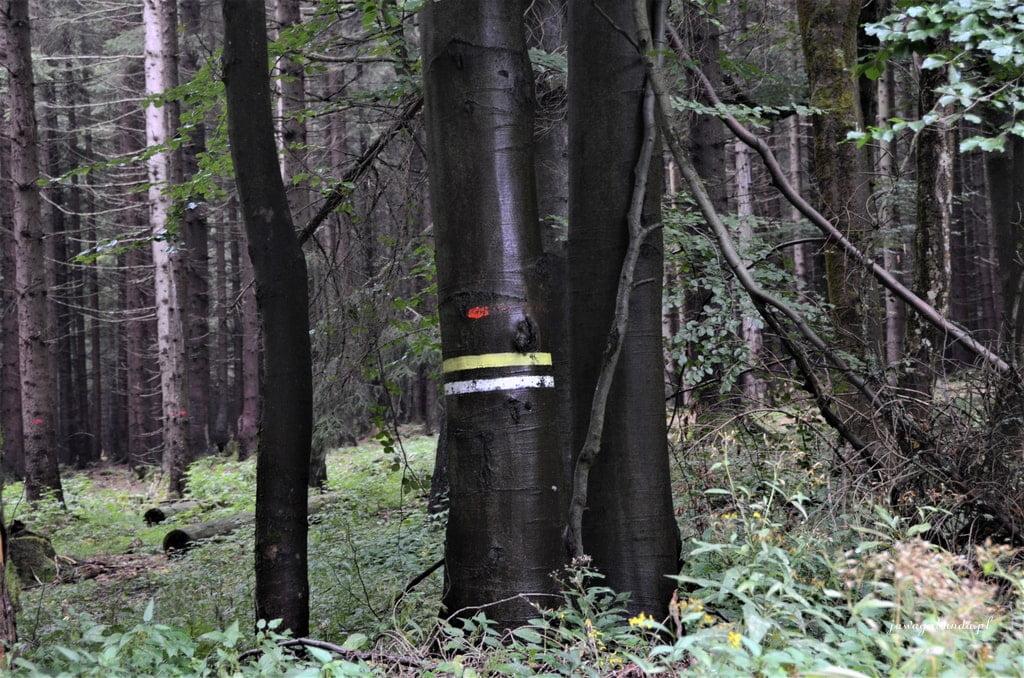 czarne pnie drzew
