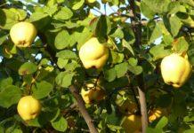 owoce pigwy na drzewie