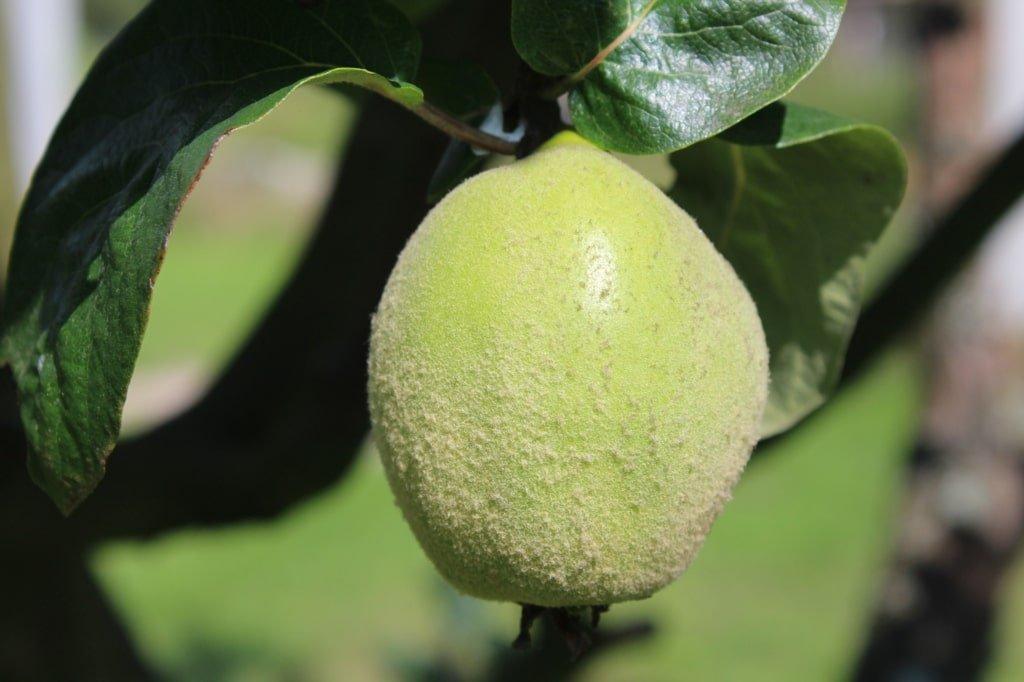 woskowy nalot na owocu pigwy