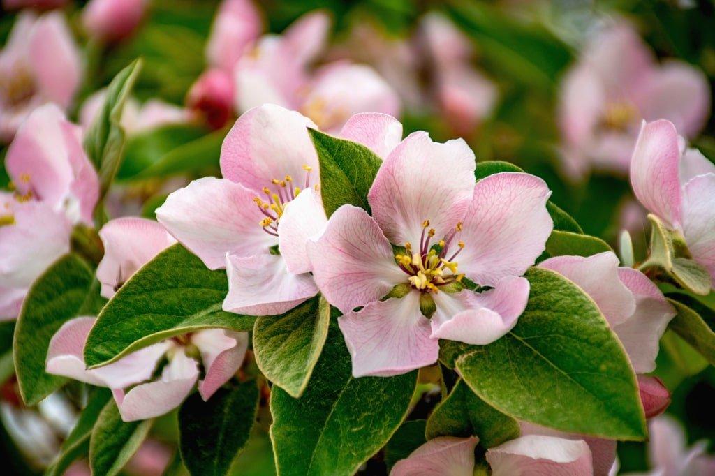 biało różowe kwiaty pigwy