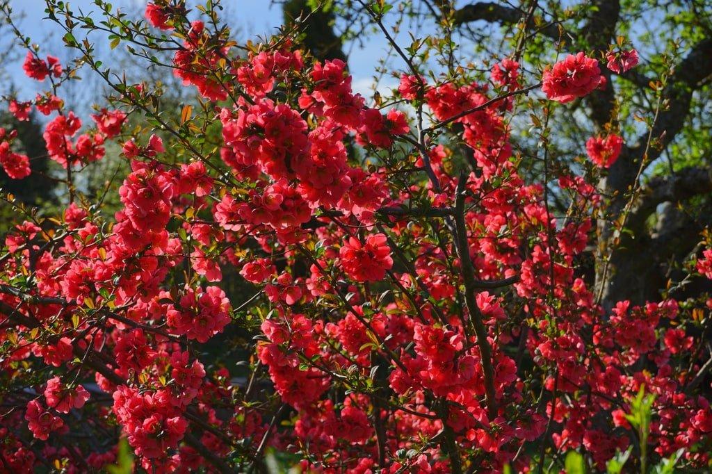 kwitnący na różowo kwiat pigwowca
