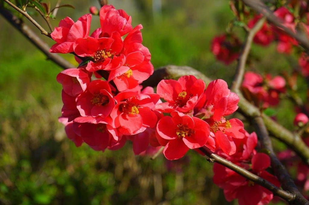 różowe kwiaty pigwowca
