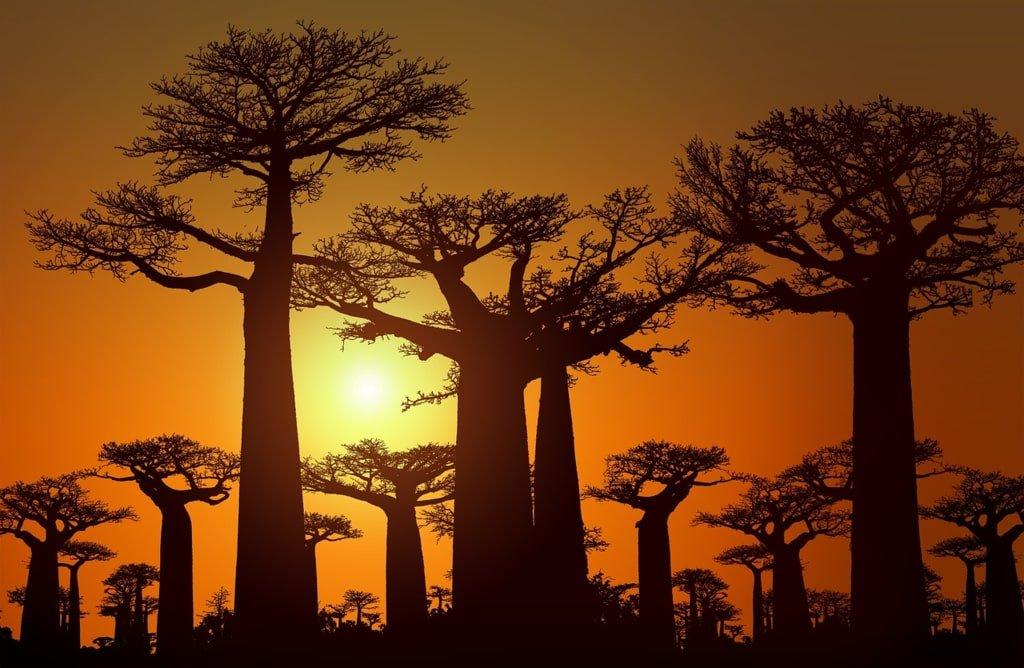 baobaby Madagaskar