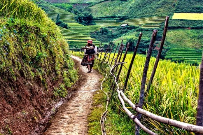 Wietnam pola ryżowe