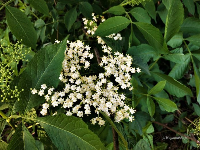 Kwiat czarnego bzu