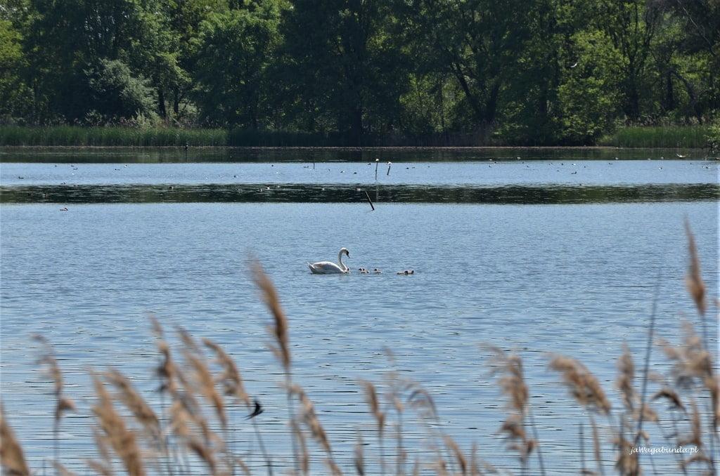 łabędzia rodzina na jeziorze