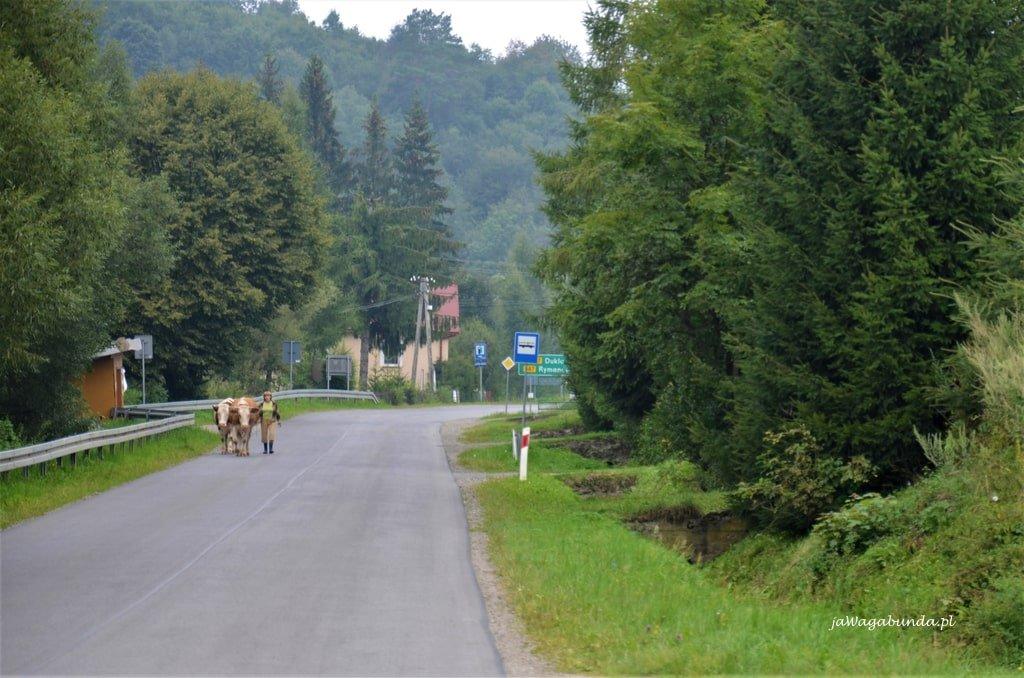 kobieta z krowami na drodze