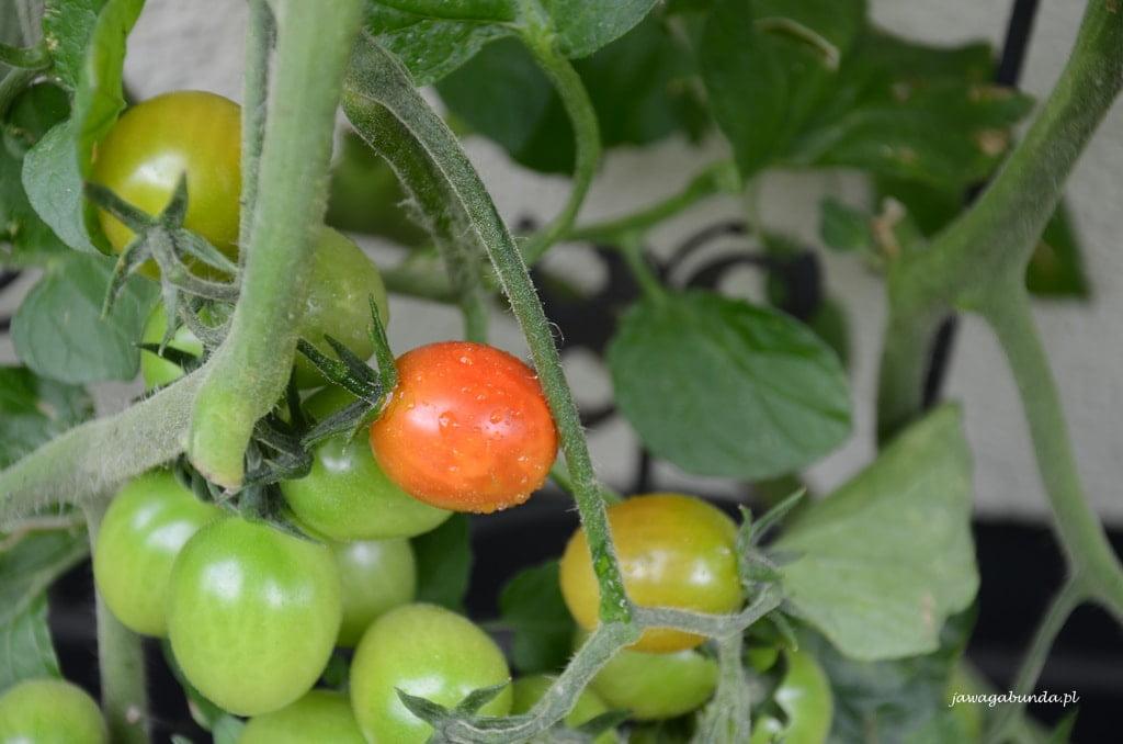 Gdy zaczynają dojrzewać, pomidory z własnej uprawy możemy zbierać co kilka dni.