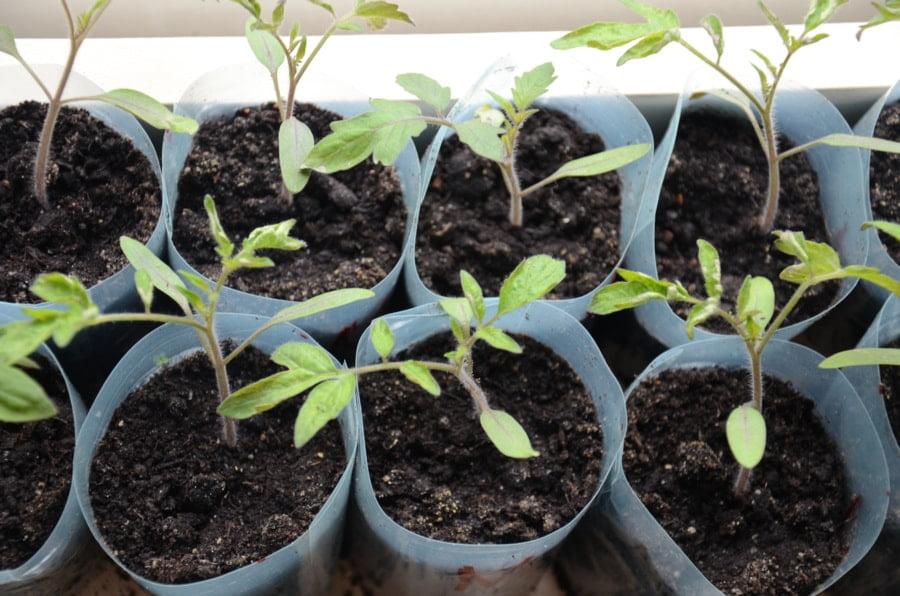 Sadzonki pomidorów - pomidory najlepiej sadzić po 15 maja.
