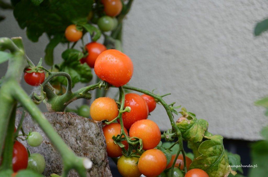 uprawa pomidorów w drewnianej skrzynki na tarasie i balkonie