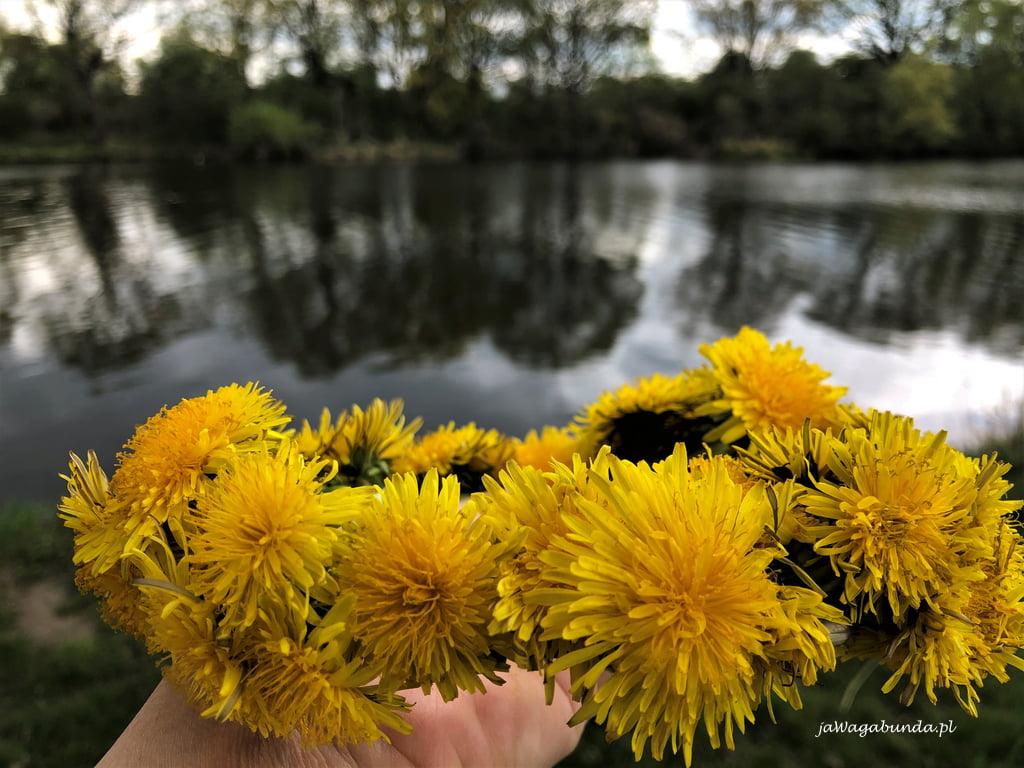 wianek upleciony z żółtych kwiatów mleczy