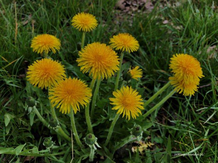 kwiaty mniszka lekarskiego na łace