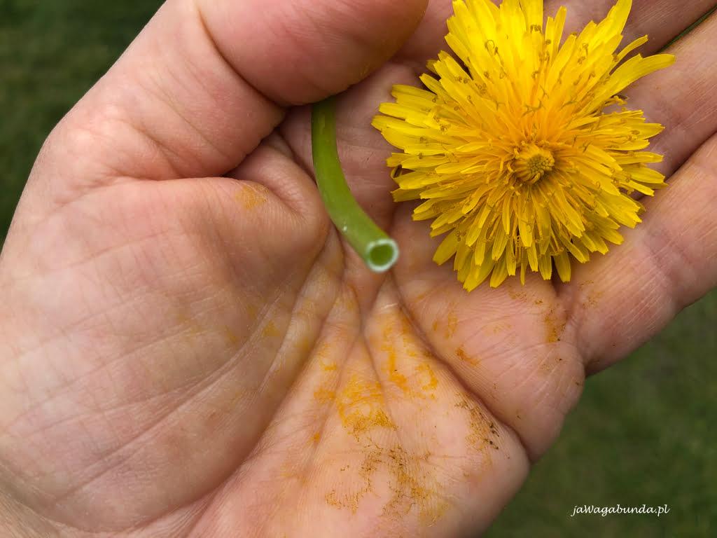 kwiat mlecza który zabarwił dłoń na brązowo - żółto