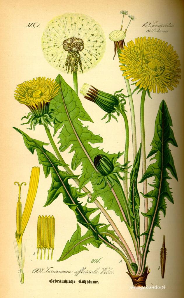 rysunek kwiatu mniszka lekarskiego