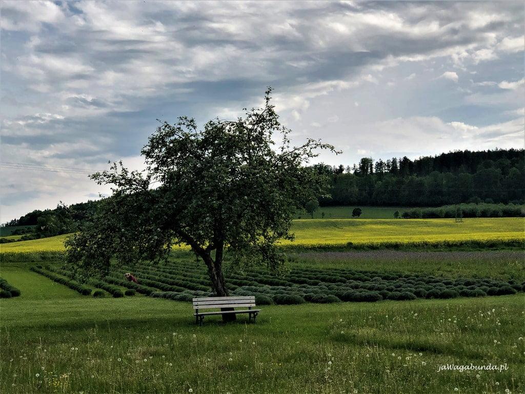 pole lawendy w krainie wygasłych wulkanów drzewo i ławka