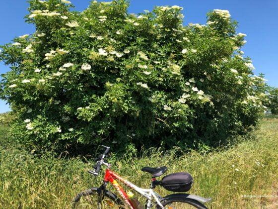 Kwiaty czarnego bzu i rower obok krzewu