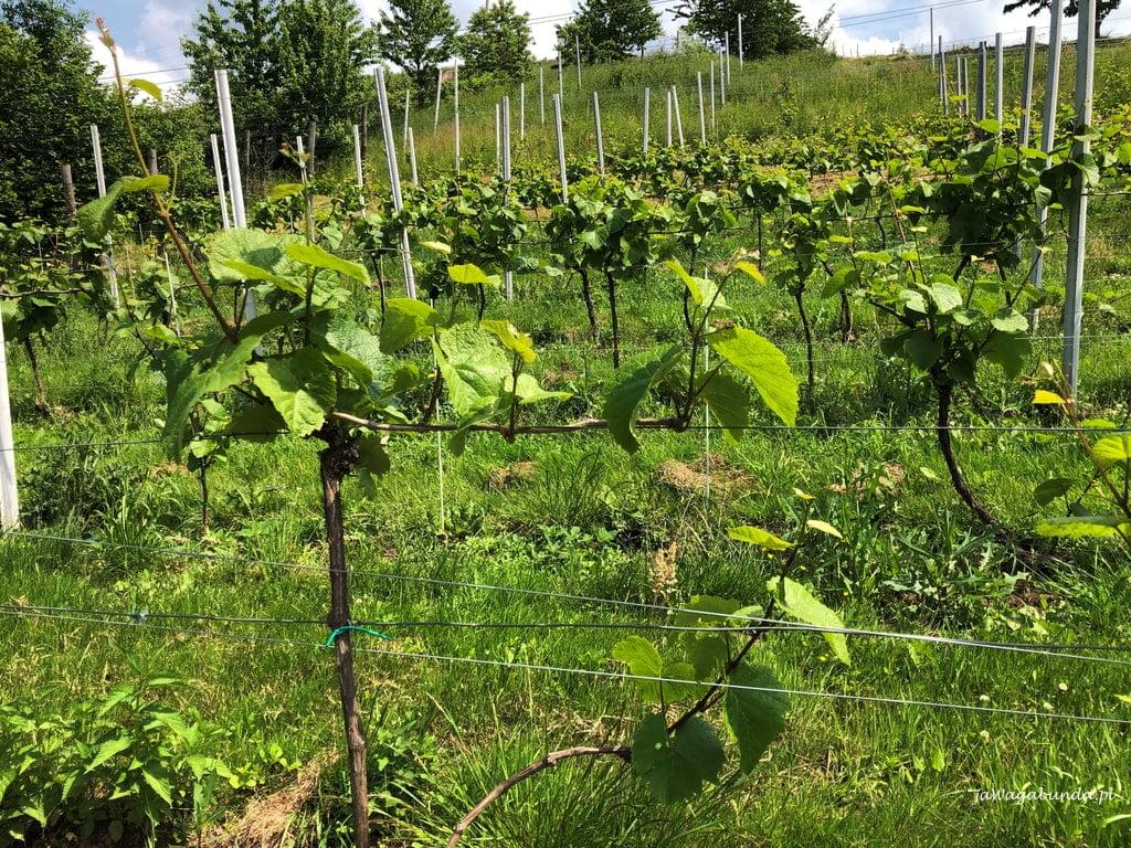 wzgórze porośnięte winoroślami, z których produkuje się wino w polskiej winnicy