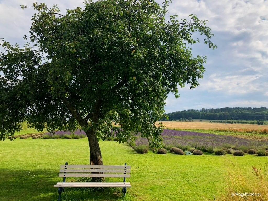 drzewo, przed nim ławka w tle pole lawendy