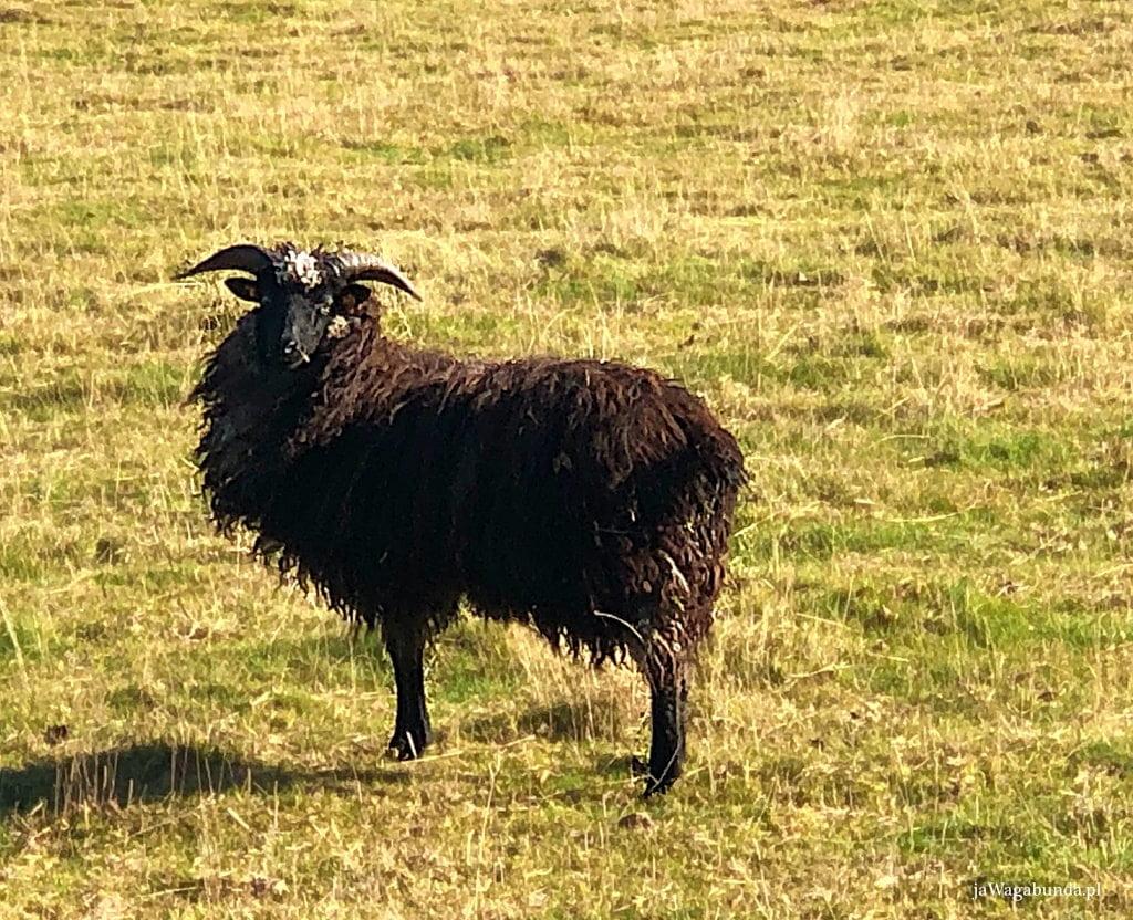 owca z czarną wełną i rogami stoi na łące