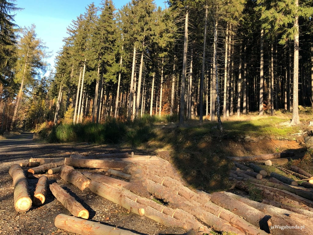 ścięte drzewa w na trasie w Górach Izerskich