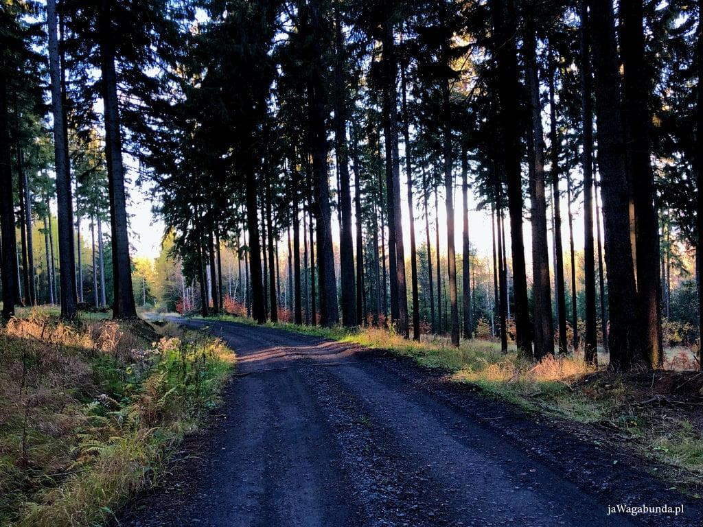 droga w lesie porośnięta drzewami