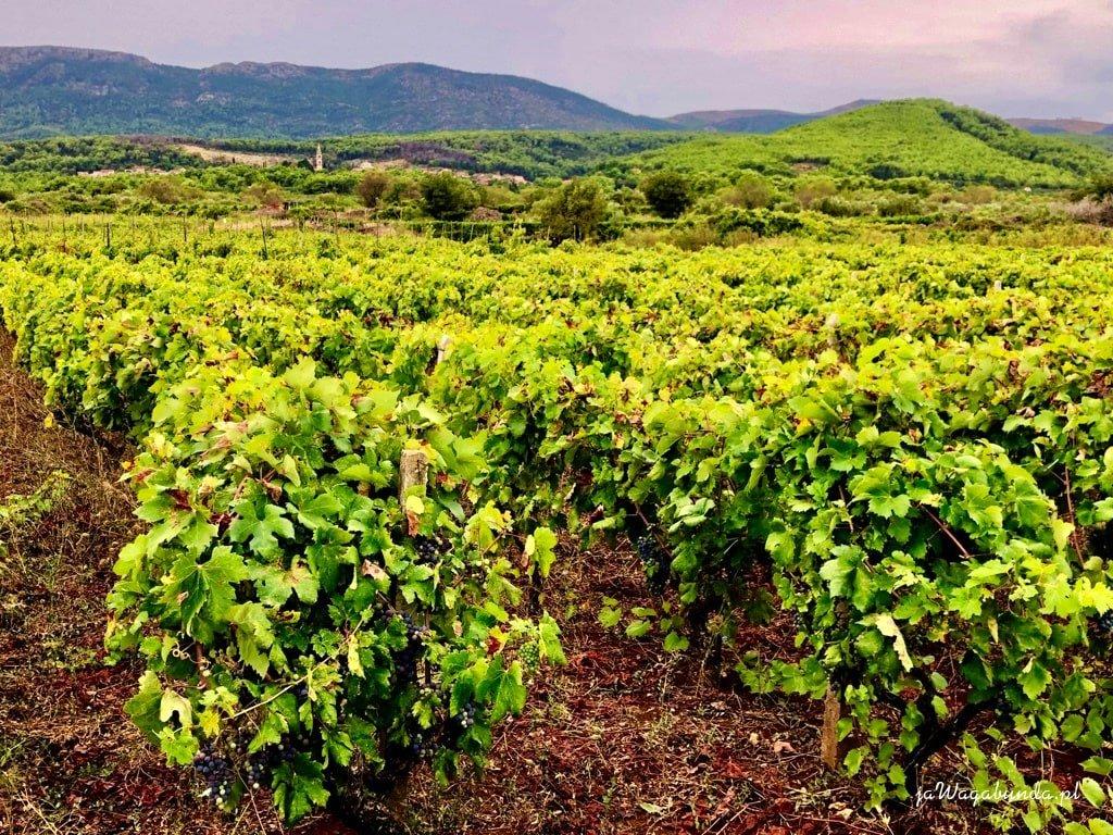 winnice w tle pasma górskie
